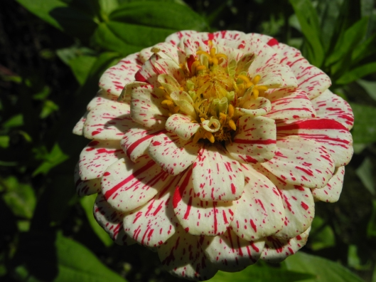 striated red and white zinnia