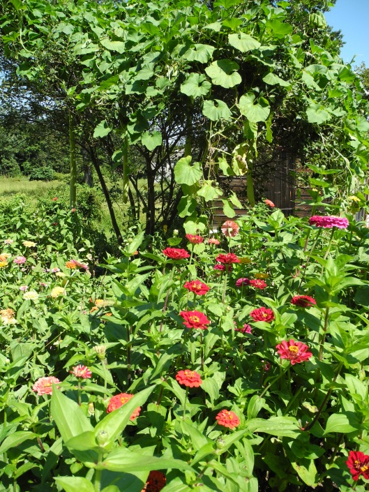 Cucuzzi vines hang over a clapboard shed amid a filed of pink zinnias