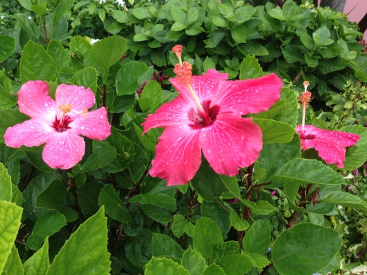 close up of hibiscus flower